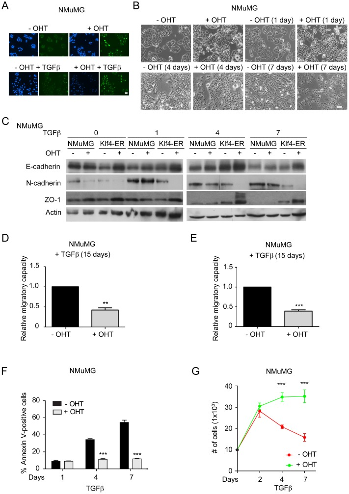 Klf4 prevents EMT and cell migration and supports cell survival during EMT. ( A ) Immunofluorescence staining of NMuMG cells stably expressing a Myc-Klf4-ER™ fusion protein using an anti-Myc-tag antibody to visualize the nuclear localization of Klf4 with and without 4-hydroxy-Tamoxifen (± OHT) treatment in the absence as well as in the presence of TGFβ for 2 days. Size bar, 50 µm. ( B ) Induction of Klf4 transcriptional activity by treatment of Myc-Klf4-ER™-expressing NMuMG cells treated with 4-OHT (+OHT) results in a repression of the morphological changes occurring during TGFβ-induced EMT in control-treated cells (−OHT). Shown are phase contrast images of Myc-Klf4-ER™ expressing NMuMG cells treated with TGFβ for 0, 1, 4 and 7 days in the absence or presence of 4-OHT. Size bar, 100 µm. ( C ) Immunoblotting analysis of the expression of the epithelial markers E-cadherin and ZO-1 and the mesenchymal marker N-cadherin during TGFβ-induced EMT in control NMuMG cells and in Myc-Klf4-ER™-expressing NMuMG cells in which Klf4 transcriptional activity has been induced (+OHT) or not (−OHT). Activation of Klf4 in Klf4-ER (+OHT) cells results in the maintenance of the expression of epithelial markers and the failure to express mesenchymal markers. Immunoblotting for actin was used as loading control. ( D ) Activation of Klf4 by treatment of Myc-Klf4-ER™-expressing NMuMG cells with 4-OHT (+OHT) results in reduced cell migration in scratch wound closure assays as compared to control-treated Myc-Klf4-ER™-expressing NMuMG cells (−OHT). Cells have been treated with TGFβ for 15 days prior to the migration assays. ( E ) Activation of Klf4 (+OHT) represses cell migration in trans-well migration assays by using 20% FBS as a chemoattractant for 20 hours in 15 days TGFβ-treated Myc-Klf4-ER™-expressing NMuMG cells. ( F ) Induction of Klf4 transcriptional activity by treatment of Myc-Klf4-ER™-expressing NMuMG cells with 4-OHT (+OHT) results in reduced apoptosis as compared to Myc-Klf4-ER™-e