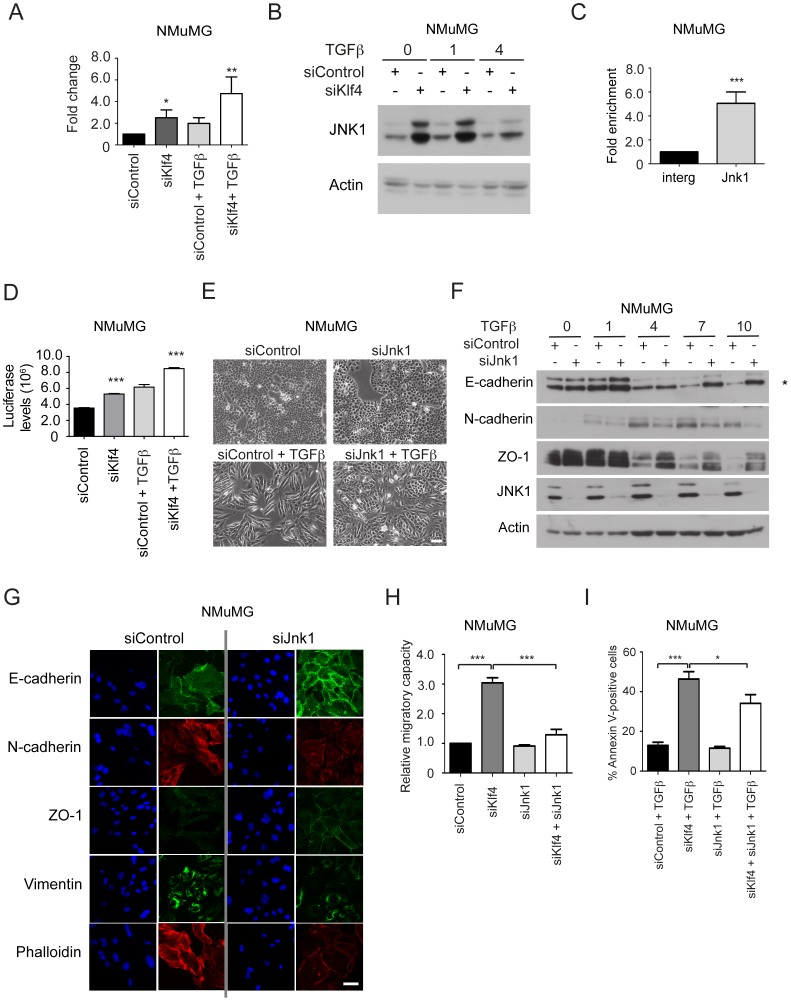 Klf4 directly represses Jnk1 ( Mapk8 ) gene expression, and Jnk1 is required for TGFβ-induced EMT and loss of Klf4-induced cell migration and apoptosis in NMuMG cells. ( A ) siRNA-mediated depletion of Klf4 expression increases Jnk1 expression as determined by quantitative RT-PCR. NMuMG cells were treated or not with TGFβ for 2 days. ( B ) Ablation of Klf4 function induces Jnk1 expression. Immunoblotting analysis of the expression of Jnk1 during TGFβ-induced EMT in NMuMG cells transfected with control siRNA (siControl) or with siRNA against Klf4 (siKlf4). Immunoblotting for actin was used as loading control. ( C ) Klf4 directly binds the Jnk1 ( Mapk8 ) gene promoter in NMuMG cells as determined by ChIP using an antibody against Klf4 followed by qPCR using primers specific for the promoter region of the Jnk1 ( Mapk8 ) gene. The qPCR data were normalized to ChIP-qPCR of an intergenic region. ( D ) An AP1 activity reporter assay was performed to assess Jnk1/AP-1-mediated transcriptional activity after Klf4 depletion (siKlf4) in NMuMG cells with or without TGFβ for 2 days. Firefly luciferase activity was normalized to co-transfected Renilla luciferase activity (relative luminescence). ( E ) Ablation of Jnk1 expression prevents EMT. Phase contrast microscopy of NMuMG cells transfected with control siRNA (siControl) and siRNA against Jnk1 (siJnk1) before and after TGFβ treatment for 2 days. Size bar, 100 µm. ( F ) Jnk1 depletion represses EMT. Immunoblotting analysis of the expression levels of Jnk1, the epithelial markers E-cadherin (the correct band is marked with an asterisk) and ZO-1 and the mesenchymal marker N-cadherin in NMuMG cells treated with either control (siControl) or Jnk1-specific siRNA (siJnk1) during TGFβ-induced EMT. Immunoblotting for Jnk1 was used to assess the siRNA-mediated knock-down efficiency, and immunblotting for actin was used as a loading control. ( G ) Down-regulation of Jnk1 expression prevents EMT. The localization and expression levels of 
