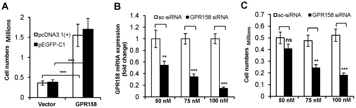 GPR158 regulates the proliferation of TBM-1 cells. TBM-1 cells were transfected at 70–80% confluence using Lipofectamine LTX reagent with either GPR158 expression plasmids or vector alone ( A ) OR either GPR158 siRNA or control scrambled siRNA as indicated ( B and C ) and incubated in growth medium for 3 days in a 6-well culture dishes. ( A and C ) After 3 days of transfection, the cells were trypsinized and counted using trypan blue dye in a hemocytometer chamber for the cells transfected with indicated plasmids. ( B ) Total <t>RNA</t> was isolated for analyzing the levels of GPR158 mRNA by <t>qRT-PCR.</t> β-actin was used as a reference gene. ( A, B and C ) The data represent mean ± SEM of three independent experiments. ***P