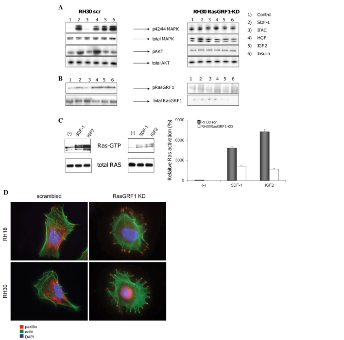 RasGRF1 is involved in chemokine and growth factor receptor signaling. (A), Effect of RasGRF1 down-regulation on activation of intracellular signaling in ARMS cells. Phosphorylation of <t>p42/44</t> MAPK and <t>AKT</t> in RH30-derived cell lines was stimulated for 5 min by SDF-1 (300 ng/ml), I-TAC (100 ng/ml), HGF (100 ng/ml), IGF-II (100 ng/ml), and insulin (10 ng/ml). The experiment was repeated three times with similar results. A representative result is shown. (B), RasGRF1 phosphorylation after stimulation with chemokines and growth factors. RasGRF1 protein phophorylated at Ser929 was detected by western blot analysis after stimulation for 5 min by SDF-1 (300 ng/ml), I-TAC (100 ng/ml), HGF (100 ng/ml), IGF-II (100 ng/ml), and insulin (10 ng/ml). (C), Effect of RasGRF1 down-regulation on Ras activation. A Ras pull-down assay was performed on two RH30-derived cell lines (RH30scr and RH30 RasGRF1-kd). The cells were stimulated for 5 min with SDF-1 (300 ng/ml) or IGF-II (100 ng/ml). Ras-GTP was precipitated by Raf-1 RBD agarose conjugate and detected by Ras antibody clone RAS10 (Millipore). The same antibody was used to detect total Ras protein (p21 H-, K- and N-Ras). Western blots were analyzed by densitometry (right side). The experiment was repeated three times with similar results. A representative result is shown. (D), Effect of RasGRF1 down-regulation on paxillin expression and actin cytoskeleton. Staining of paxillin and actin was performed on RH30scr, RH30 RasGRF1-kd, RH18scr and RH18 RasGRF-kd cell lines. The experiment was repeated three times and representative results are shown.