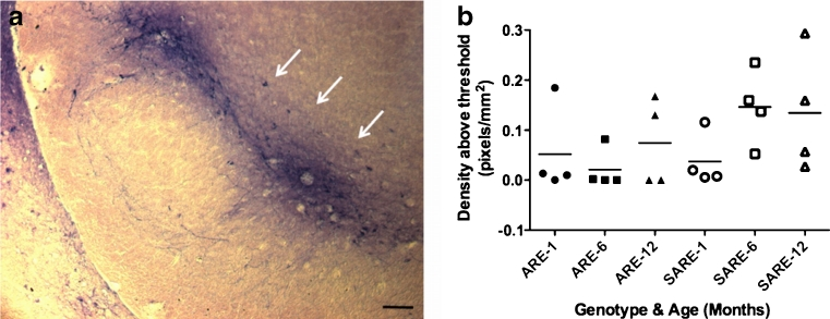 Antioxidant responses in vivo . The SNpc of 1-, 6- and 12-month old ARE and SARE mice ( n = 4/genotype/age) were processed for hPLAP activity measurements using a BCIP/NBT staining protocol. a Image of phosphatase activity in the SNpc of an SARE mouse (12-months of age) demonstrating robust activity in this region of the brain (white arrows). Images were taken at 10X (scale bar = 100 μm) magnification. b The density of phosphatase activity was determined from the SNpc of BCIP/NBT stained tissue for all mice and reported as pixels/mm 2 . There is no statistically significant difference between α-synuclein overexpressing mice (SARE) and ARE mice in phosphatase activity