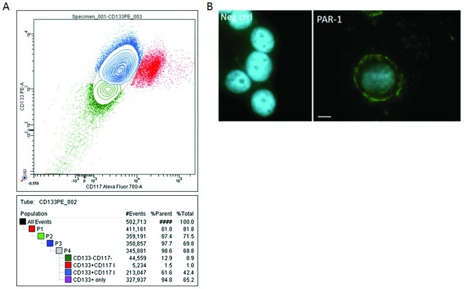 Immunoanalysis of the ovarian cancer cell line, OVCAR-3. (A) Three subpopulations of OVCAR cells were identified by the cell sorter. They were CD133 + (65.2%), CD133 + /CD117 + (42.4%) and CD133 − (8.9%). (B) PAR-1 immunocytochemistry. OVCAR cells were grown on glass bottom chamber slides, fixed and successively incubated with PAR-1 antibody, appropriate biotinylated secondary antibody and <t>FITC-streptavidin.</t> Isotype antidodies were used in parallel and the nuclei were DAPI-labeled. Initial magnification, ×400. Scale bar represents 10 μ m.