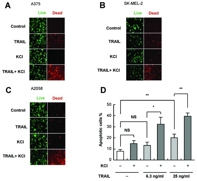 K + loading sensitizes human melanoma cells to TRAIL-induced apoptosis. (A–C) A375 (A), SK-MEL-2 (B) and A2058 (C) cells were treated with 25 ng/ml TRAIL and 50 mM KCl alone or in combination for 24 h. After removal of the medium, the cells were stained with calcein-AM and ethidium bromide homodimer to label live cells (green) and dead cells with compromised cell membranes (red), respectively. Images were obtained with a fluorescence microscope (×100). The results shown are representative of four independent experiments. (D) After treatment with 6.3 and 25 ng/ml TRAIL and KCl alone or in combination for 24 h, A375 cells were stained with annexin V-FITC and PI and analyzed by flow cytometry. The data represent means ± SE from four independent experiments. * P