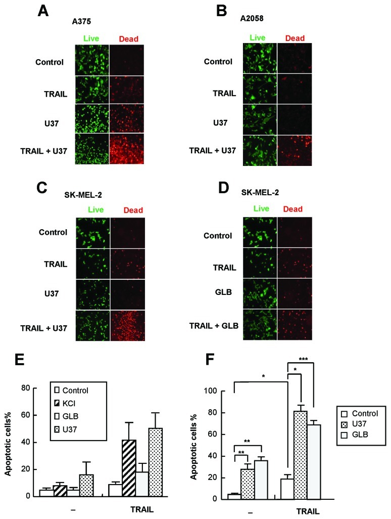 K ATP channel inhibitors sensitize human melanoma cells to TRAIL-induced apoptosis. (A–D) A375 (A), A2058 (B) and SK-MEL-2 (C,D) cells were treated with TRAIL and U37883A (U37) or glibenclamide (GLB) alone or in combination for 24 h, stained with calcein-AM and ethidium bromide homodimer and observed under a fluorescence microscope (×100). The results shown are representative of three independent experiments. (E,F) After treatment of A375 cells with TRAIL and U37 or GLB alone or in combination for 24 h (E) or 72 h (F), apoptotic cell death was evaluated by flow cytometry using annexin V-FITC and PI staining. The data represent the means ± SE from four independent experiments. * P