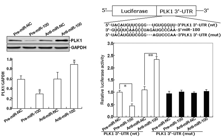 PLK1 is a target of miR-100. (A) Western blot analysis of PLK1 protein expression in SKOV-3 cells transfected with pre-miR-100 (pre-miR-NC) or anti-miR-100 (anti-miR-NC). (B) PLK1 3′-UTR and corresponding fragments were inserted into the region immediately downstream of the luciferase gene in <t>pGL3-Basic</t> vector and validated by DNA sequencing. The sequences of the predicted miR-100 binding sites within the PLK1 3′-UTR, including wild-type UTR or UTR segments containing mutant binding site are shown. (C) Detection of luciferase activity. For luciferase reporter assays in 6-well plates, 1-mg luciferase reporter plasmid containing either wild-type (wt) or mutant (mut) PLK1 3′-UTR, and 200 pmol of pre-miR-100, anti-miR-100, pre-miR-NC or anti-miR-100 were transfected. The parental luciferase plasmid was also transfected as a control. At 24 h after transfection, cells were assayed using the Luciferase Gene Reporter Assay kit. The data are presented as the mean ± SD of three experiments. * P