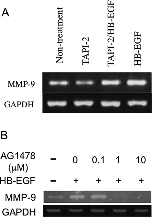 Shedding of HB-EGF upregulates MMP-9 expression through EGFR receptor activation. (A) The TACE inhibitor TAPI-2 reduced MMP-9 mRNA levels in HSC3 cells. (B) The EGFR inhibitor AG1478 downregulated MMP-9 mRNA levels in HSC3 cells