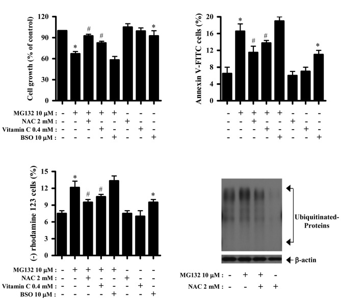 Effects of NAC, vitamin C or BSO on cell growth, cell death and MMP (ΔΨ m ) in MG132-treated HPF cells. Exponentially growing cells were treated with 10 μM MG132 for 24 h following a 1 h of pre-incubation with 2 mM NAC, 0.4 mM vitamin C or 10 μM BSO. (A) The graph shows cell growth changes in HPF cells as assessed by the MTT assay. (B and C) Annexin-V-FITC cells and MMP (ΔΨ m ) loss cells were measured with a FACStar flow cytometer. Graphs show the percent of Annexin V-positive staining cells (B) and rhodamine 123-negative [MMP (ΔΨ m ) loss] cells (C). (D) Samples of protein extracts (40 μg) were resolved by SDS-PAGE gel, transferred onto PVDF membranes and immunoblotted with the indicated antibodies against ubiquitin and β-actin. * P