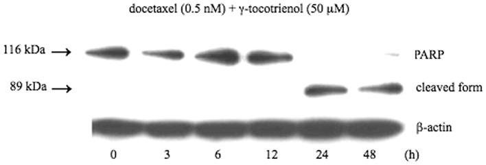 Western blot analysis of PARP cleavage in B88 cells treated with the combination of docetaxel (0.5 nM) and γ-tocotrienol (50 μM) for 48 h. Whole-cell fractions extracted from the cells were subjected to analysis. The molecular weights of uncleaved and cleaved PARP were 116 and 89 kDa, respectively. Results are representative of 3 independent experiments.