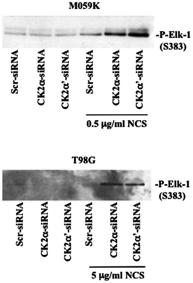 CK2-knockout leads to enhanced ERK1/2 kinase activity in the presence of NCS. Cells were transfected with Scr-siRNA or CK2-siRNAs for 72 h. Where indicated, NCS was added 24 h before harvesting. Whole cell lysates (500 μ g) were subjected to a non-radioactive kinase activity assay in the presence of a GST-Elk-1 fusion protein after immunoprecipitation of phosphorylated ERK1/2. The phosphorylation levels of Elk-1 were detected by western blot analysis with an antibody directed against phospho-Elk1-1 (S383). Representative results from two independent experiments are shown.