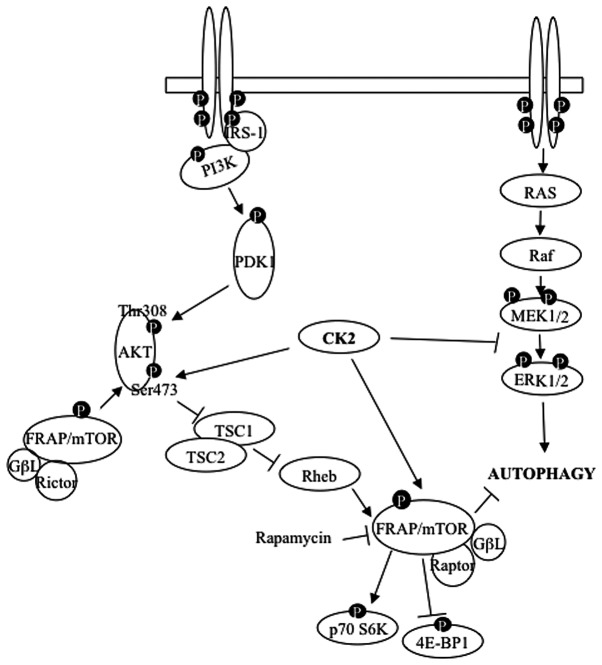 Model of the proposed influence of CK2 on autophagy induction. The model suggests the placement and function of CK2 with respect to the major signaling cascades regulating autophagy. CK2 has been reported to be a master regulator of cellular functions in virtue of its ability to play a 'lateral means' of pathways intervention ( 12 ). Here, we show that effective CK2-mediated autophagy induction is achieved by the simultaneous targeting of the ERK1/2-and mTOR signaling pathways. Additional details are reported in the text.