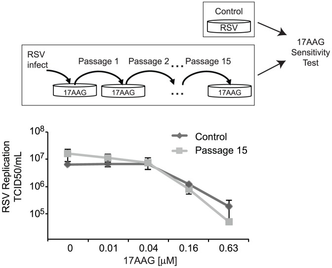 Extensive growth of RSV in the presence of Hsp90 inhibitors does not select for the emergence of drug resistance. Antiviral activity of 17AAG against an RSV viral population obtained following 15 passages in the presence of 17AAG and a control RSV viral population. HEp-2 cells were infected with the 17AAG passaged viral population or a control viral population and treated with the indicated concentration of 17AAG for 72 hours. Virus production was then assayed by endpoint dilution. Data indicate the mean TCID50/mL and SEM of ≥2 experiments.