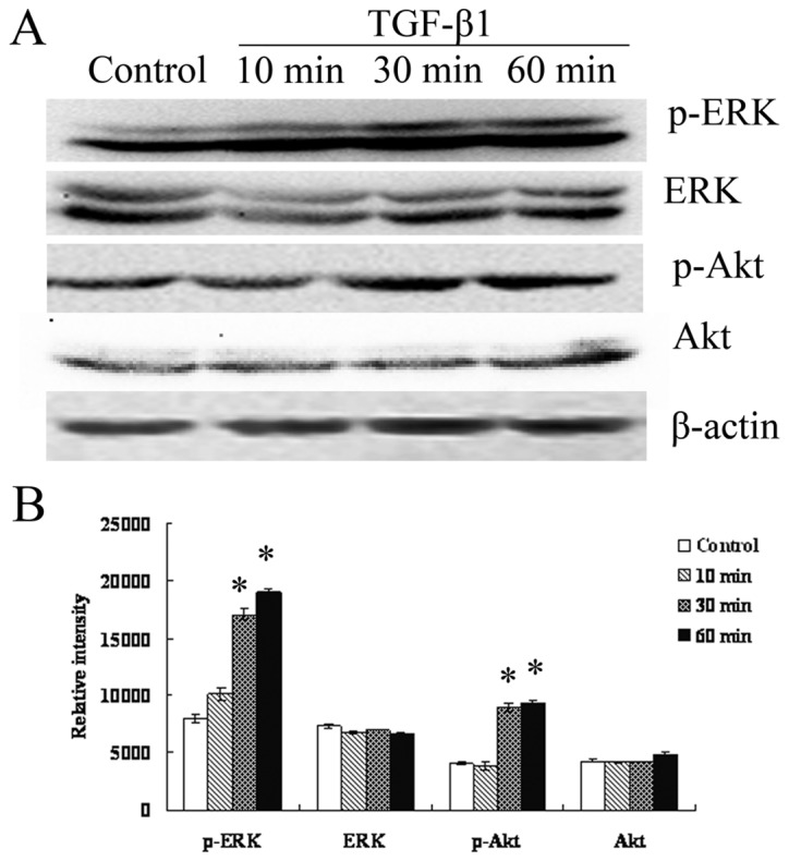 TGF-β1 activates ERK/MAPK and PI3K pathways in RMG-I-H cells. (A) Western blot analysis was performed to detect the expression of p-ERK, ERK, p-Akt and Akt in RMG-I-H cells at different time-points after TGF-β1 stimulation. (B) Relative intensity of p-ERK, ERK, p-Akt and Akt protein were expressed as means in bar graphs, significant differences from control cells were noted as * p