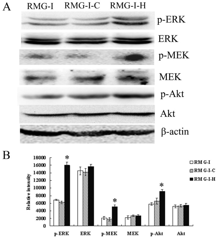 Changes in expression levels of elements of ERK and PI3K signaling pathways. (A) Changes of the expression and phosphorylation levels of MEK, ERK, Smad2/3 and Akt in RMG-I, RMG-I-C and RMG-I-H cells. (B) Relative intensity of elements of ERK and PI3K signaling pathways protein levels were expressed as means in bar graphs. Significant differences from RMG-I and RMG-I-C cells were noted as * p