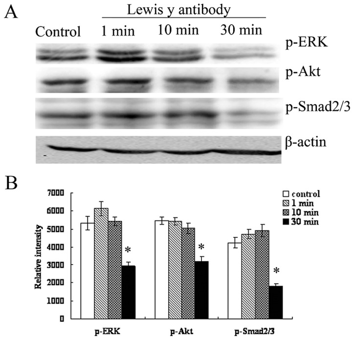The effect of LeY antibody on the expression of p-ERK, p-Smad2/3 and p-Akt. (A) A Western blot analysis was performed to measure changes in the phosphorylation levels of ERK, Smad2/3 and Akt at different time-points a fter antibody blocking. (B) Relative intensity of p-ERK, p-Smad2/3 and p-Akt protein levels were expressed as means in bar graphs. Significant differences from control cells were noted as * p