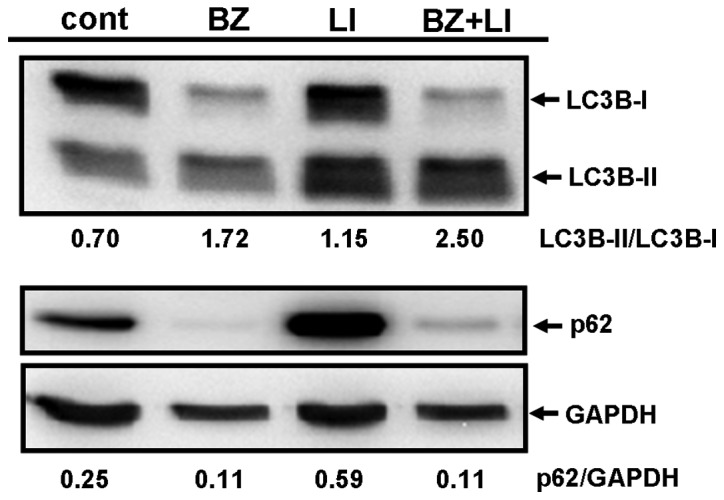 Autophagy induction in MDA-MB-231 cells after treatment with BZ. (A) MDA-MB-231 cells were treated with BZ at various concentrations for 48 h. Cellular proteins were separated by 15% SDS-PAGE for LC3B and 11.25% SDS-PAGE for p62. Immunoblotting was performed using anti-LC3B Ab and anti-p62 mAb. (B) MDA-MB-231 cells were treated with 25 nM of BZ for various lengths of time. Cellular proteins were separated by SDS-PAGE as described above and immunoblotted with anti-LC3B Ab and anti-p62 mAb. Immunoblotting with anti-GAPDH mAb was performed as an internal control. (C) MDA-MB-231 cells were cultured with/without BZ (25 nM) in the presence or absence of lysosomal inhibitors (LI), E-64d (10 μg/ml) and <t>pepstatin</t> A (10 μg/ml) for 48 h. Each number indicates the ratio of LC3B-II/LC3B-I and p62/GAPDH as determined by densitometry.