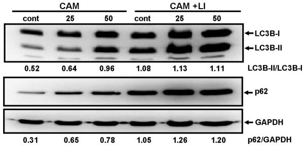 Immunoblotting with anti-LC3B Ab and anti-p62 Ab after treatment with CAM in MDA-MB-231 cells. (A) MDA-MB-231 cells were treated with CAM (50 μg/ml) for various lengths of time. (B) MDA-MB-231 cells were cultured with CAM (25 and 50 μg/ml) in the presence or absence of lysosomal inhibitors (LI), E-64d (10 μg/ml) and pepstatin A (10 μg/ml) for 48 h. Cellular proteins were separated by 15% SDS-PAGE for LC3B and 11.25% SDS-PAGE for p62, and immunoblotted with anti-LC3B Ab and anti-p62 mAb. Immunoblotting with anti-GAPDH mAb was performed as an internal control. Each number indicates the ratio of LC3B-II/LC3B-I and p62/GAPDH as determined by densitometry.