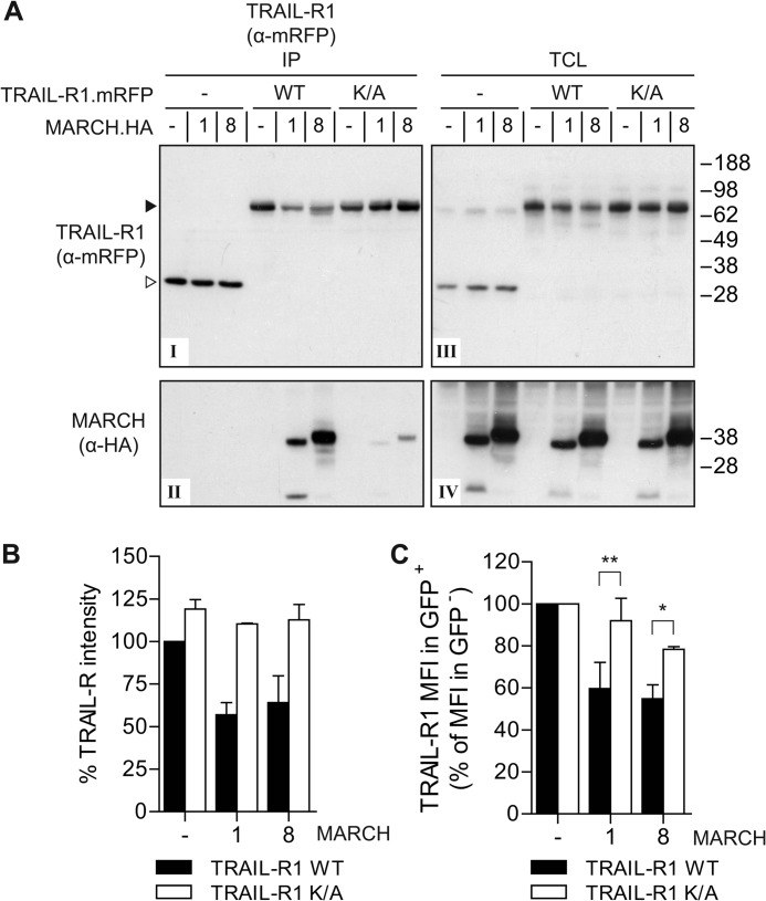 MARCH-1 and -8 interact with and down-regulate wild-type TRAIL-R1, but not the TRAIL-R1 K273A mutant. A , MCF-7 Casp-3 cells were transfected to express mRFP only (−), mRFP-tagged WT TRAIL-R1 or K273A ( K / A ) mutant, together with HA-tagged MARCH-1, MARCH-8, or empty vector (−), as indicated. Immunoprecipitation was performed with α-mRFP antibody and immunoprecipitates ( IP ) were analyzed by immunoblotting with α-mRFP and α-HA antibodies to detect TRAIL-R1 and MARCH-1/8, respectively. Panel I , mRFP detection in IP of TRAIL-R1.mRFP and control mRFP; panel II , MARCH-1 and -8 detection in IP of TRAIL-R1.mRFP and control mRFP; panel III , mRFP detection (TRAIL-R1.mRFP or RFP only) in total cell lysates ( TCL ); panel IV , MARCH-1 and -8 detection in TCL. B , quantification of TRAIL-R1 down-regulation in total cell lysates. Total protein levels of WT TRAIL-R1 and the K/A mutant in TCL of control cells (−), or those expressing HA-tagged MARCH-1 or -8 were quantified from Western blots as depicted in panel III of A and plotted as percentage of the WT TRAIL-R1.mRFP expression in control cells. Data represent mean ± S.D. of values from the experiment depicted in A and 2 additional experiments. C , impact of MARCH-1 or MARCH-8 on WT and K/A mutant TRAIL-R1 cell surface expression. Cells stably expressing WT or K273A TRAIL-R1.mRFP were transfected to express GFP (−), GFP-tagged MARCH-1 or MARCH-8, and stained with antibody to TRAIL-R1 as outlined for Fig. 2 . Quantification of 2–4 independent experiments assessing TRAIL-R1 MFI in GFP + cells as the percentage of TRAIL-R1 MFI in GFP − cells, whereby the values in control cells were set at 100%. Values represent mean ± S.D. Asterisks indicate statistically significant differences between TRAIL-R1 WT or K/A mutant (Student's t test; *, p