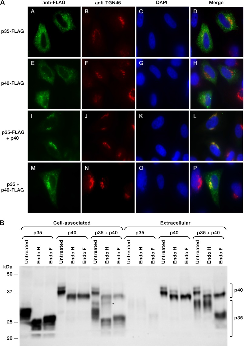 The coexpression of human IL-12p35 and p40 alters intracellular localization. A , HLtat cells were transfected with p35-FLAG ( A–D ), p40-FLAG ( E–H ), and the combinations of p35-FLAG and p40 ( I–L ) or p35 and p40-FLAG ( M–P ) and fixed. FLAG-p35 and FLAG-p40 were visualized with anti-FLAG primary followed by Alexa-Fluor 488 secondary antibody ( A , E , I , and M ). The TGN was visualized with anti-TGN46 primary antibody followed by Alexa-Fluor 594 secondary antibody ( B , F , J , and N ). The nuclei were visualized with DAPI ( C , G , K , and O ). The images were merged to show similar localization within the TGN ( D , H , L , and P ). B , increase of glycosylated p35 in the presence of p40. The supernatants and cell lysates from HEK293 cells transfected with plasmids expressing the individual p35 or p40 subunits either alone or together were treated with Endo F or Endo H or left untreated. The samples were analyzed by Western immunoblot assay using the human IL-12p70 antibody. *, Endo H-resistant forms of p35 in the cell-associated fraction.
