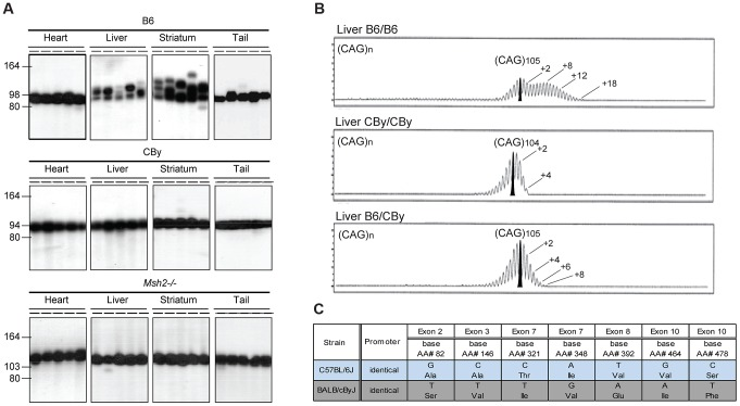 Representative CAG repeat distributions, and Msh3 variations in B6 and CBy mice. A) The autoradiographs show representative <t>SP-PCR</t> analyses of DNA, extracted from heart, liver, striatum and tail. At weaning the B6.Cg-R6/1 (B6) and CBy.Cg-R6/1 (CBy) congenic mice contained in tail DNA (CAG)98 and (CAG)94, respectively. For comparison the profiles of the Msh2 −/− mouse is shown. About 5–10 DNA amplifiable molecules were amplified in each reaction with primers MS-1F and MS-1R. Animals were 20-weeks old. B) Congenic CBy.Cg-R6/1 mice were crossed to B6 and the resulting F1 progeny were crossed to produce F2 mice with all possible genotypes at the Msh3 locus. Repeat instability was assayed by amplifying 10 ng genomic DNA using fluorescently labelled primers and resolving the fragments by capillary gel electrophoresis ( Figure 1B ). Using this high-resolution approach repeat length distributions present with the typical 'hedgehog' pattern ( e.g. [10] , [13] , [15] , [16] . This pattern reflects both somatic mosaicism within the sample and PCR artefacts generated by <t>Taq</t> polymerase slippage [62] , [63] . The PCR artefacts are predominantly repeat contractions, hence these are not considered here. The pattern of CAG repeat instability depended on genotype at the MSH3 locus. B6 homozygosity resulted in the greatest instability, CBy homozygosity resulted in lack of expansion, while heterozygosity resulted in an intermediate instability, indicative of a gene dosage effect of the Msh3 locus. Numbers indicate the CAG repeat size corresponding to major peaks. In addition, on the B6 tracing, a second number indicates the highest CAG repeat number detected. C) Msh3 polymorphisms in Msh3 gene from C57BL/6 (B6) and BALB/cBy (CBy) mice. Promoters were identical. SNPs were identified or confirmed to those in dbSNP by sequencing the Msh3 gene.