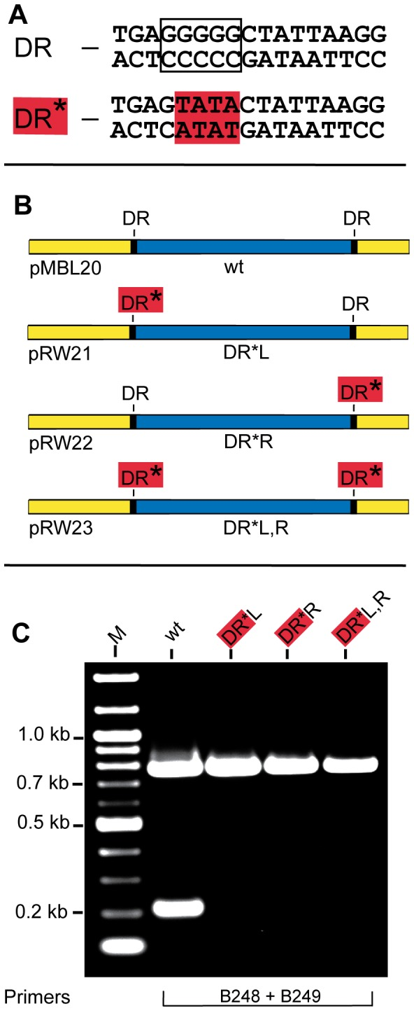 Affect of mutations in the 17 bp direct repeats on precise excision of the vlsE variable region. A) DNA sequences of the wild-type 17 bp direct repeat (DR) and a mutant 17 bp direct repeat (DR*) used in this study. Mutated bases are highlighted in red. B) Schematic showing the plasmid templates carrying wild-type DRs and a mutant DR at the left, right or both sides of the variable region. C ) An ethidium bromide-stained agarose gel showing amplification of a portion of vlsE with Phusion DNA polymerase using the templates shown in Panel B with the indicated primers. Gel electrophoresis conditions were as noted in Fig. 2 .