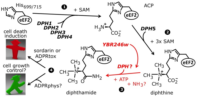 The biosynthetic pathway for modification of eEF2 by diphthamide. For roles played by the bona fide diphthamide genes DPH1–DPH5 in steps 1 and 2 of the pathway, see main text. The ill-defined step 3, conversion of diphthine to diphthamide by amidation, is highlighted (red label). It likely involves ATP and ammonium cofactors in a reaction catalyzed by unidentified DPH gene product(s). Step 4 indicates diphthamide can be hijacked for eEF2 inactivation and cell death induction by antifungals, i.e. sordarin and bacterial ADP ribosylase toxins (ADPRtox); alternatively, it has been reported to undergo cell growth related physiological ADP ribosylation (ADPRphys?) by elusive cellular modifier(s). ACP, 2-[3-amino-carboxyl-propyl]-histidine; SAM: S-adenosylmethionine.