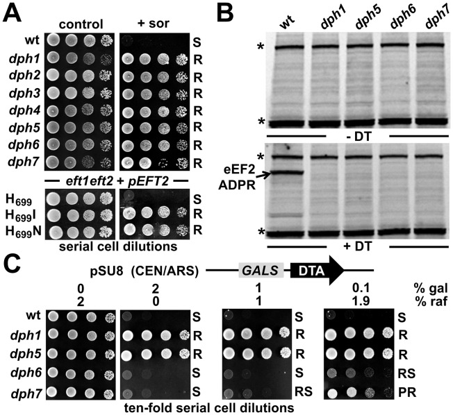 DPH6 and DPH7 deletion strains copy traits typically related to the bona fide diphthamide mutants dph1-dph5 . (A) Sordarin resistance. Ten-fold serial cell dilutions of the indicated yeast strains, BY4741 wild-type (wt) background and its dph1-dph7 gene deletion derivatives (upper panels) as well an MKK-derived eft1 eft2 double deletion background maintaining plasmid p EFT2 wild-type or H 699 substitution (H 699 N and H 699 I) alleles of EFT2 (lower panels), were grown on YPD plates in the absence (control) or presence (+sor) of 10 µg ml −1 sordarin. Growth was assayed for 3 d at 30°C. Sordarin resistant (R) and sensitive (S) responses are indicated. (B) Lack of in vitro ADP ribose acceptor activity of eEF2. Cell extracts obtained from dph1 , dph5 , dph6 and dph7 mutant and wild-type (wt) strains were incubated with (+DT) or without (−DT) 20 nM diphtheria toxin in the presence of biotin-NAD (10 µM) at 37°C for 1 hour. The transfer of biotin-ADP-ribose to eEF2 was detected by Western blotting using a streptavidin-conjugate. Two unknown non-specific bands (indicated by *) served as internal controls for even sample loading. (C) DT phenotype. As indicated, yeast dph mutants and wild-type control (wt) were tested for sensitivity to intracellular expression of DTA, the cytotoxic ADP ribosylase fragment of DT. This in vivo assay involved galactose-inducible expression from vector pSU8 (see Materials and Methods ). Serial cell dilutions were replica spotted onto raffinose (2% raf) and galactose-inducing conditions using concentrations (2, 0.2 and 0.1% gal) suited to achieve gradual down-regulation of DTA toxicity. Growth was for 3 days at 30°C. DTA sensitive (S) resistant (R), partially resistant (PR) and reduced sensitive (RS) phenotypes are indicated.