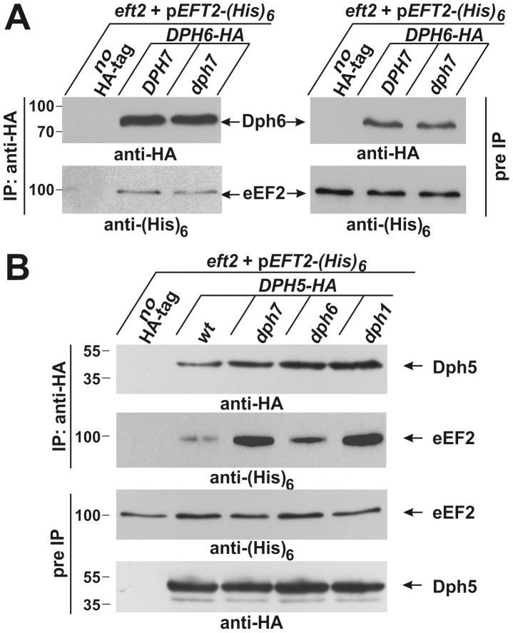 Co-immune precipitations reveal <t>eEF2</t> interactions with Dph6 and Dph5. (A) eEF2 interacts with Dph6 in a fashion that is independent of Dph7. (B) eEF2 interaction with Dph5 is dramatically enhanced by elimination of Dph7 or Dph1. Yeast strains co-expressing (His) 6 -tagged eEF2 with Dph6-HA (A) or Dph5-HA (B) in the background of wild-type (A: DPH7 and B: wt) and dph mutant strains (A: dph7 ; B: dph1 , dph6 and dph7 ) were subjected to immune precipitations (IP) using the anti-HA antibody. Strains expressing (His) 6 -tagged eEF2 on their own served as IP controls (A and B: no HA-tag). Subsequently, the precipitates were probed with anti-HA (A: top left panel; B: first panel) and anti-(His) 6 antibodies (A: bottom left panel) to check for the content of Dph6-HA (A) and Dph5-HA (B), respectively (all indicated by arrows). The content of HA-tagged Dph6 (A) and Dph5 (B) as well as (His) 6 -marked eEF2 (A and B) in the protein extracts prior to IP (pre-IP) was examined on individual Western blots using anti-HA (A: top right panel; B: fourth panel) and anti-(His) 6 antibodies (A: bottom right panel; B: third panel), respectively. While absence of Dph7 hardly affected the Dph6•eEF2 interaction (A), Dph5•eEF2 interaction was strongly enhanced by inactivating DPH7 or DPH1 (B).