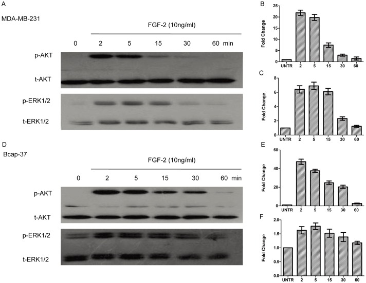 FGF-2 induces AKT and ERK1/2 phosphorylation. For AKT and ERK1/2 phosphorylation, cells were treated with FGF-2 (10 ng/ml) and harvested at (2,5, 15, 30, 60 min). Phospho-AKT (p-AKT) and phospho-ERK1/2 (p-ERK1/2) were analyzed by Western blot and normalized to total AKT(t-AKT) and total-ERK1/2 (t-ERK1/2), respectively. The results represented mean ± SEM for triplicate experiments.