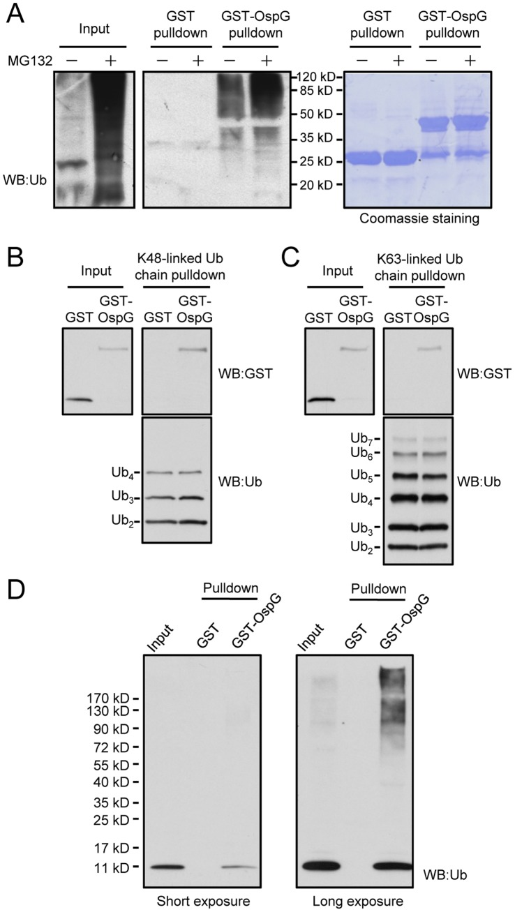 High-affinity binding between OspG and ubiquitin conjugates, poly-ubiquitin chains and free ubiquitin. ( A ) Pulldown of ubiquitin-conjugated proteins by purified GST-OspG. Glutathione-Sepharose beads coated with GST-OspG or GST alone were incubated with lysates of intact 293T cells or MG132- treated 293T cells. Proteins retained on the beads were eluted with SDS loading buffer and separated onto12% SDS-PAGE gels. Shown on the left are anti-ubiquitin immunoblots and on the right are Coomassie blue staining of GST or GST-OspG proteins present on the beads. ( B and C ) Pulldown of OpsG by K48- or K63-linked poly-ubiquitin chains. Ni-NTA Sepharose beads coated with His6-ubiquitin chains with indicated linkages were incubated with GST or GST-OspG. Proteins retained on the beads were subjected to SDS-PAGE and anti-GST immunoblotting analysis. ( D ) Pulldown of free ubiquitin by GST-OspG. GST or GST-OspG proteins were immobilized onto Glutathione Sepharose beads and the beads were then incubated with lysates of 293T cells. The interacting proteins eluted from the beads were resolved by 4–20% gradient SDS-PAGE gel and analyzed by anti-ubiquitin immunoblotting.