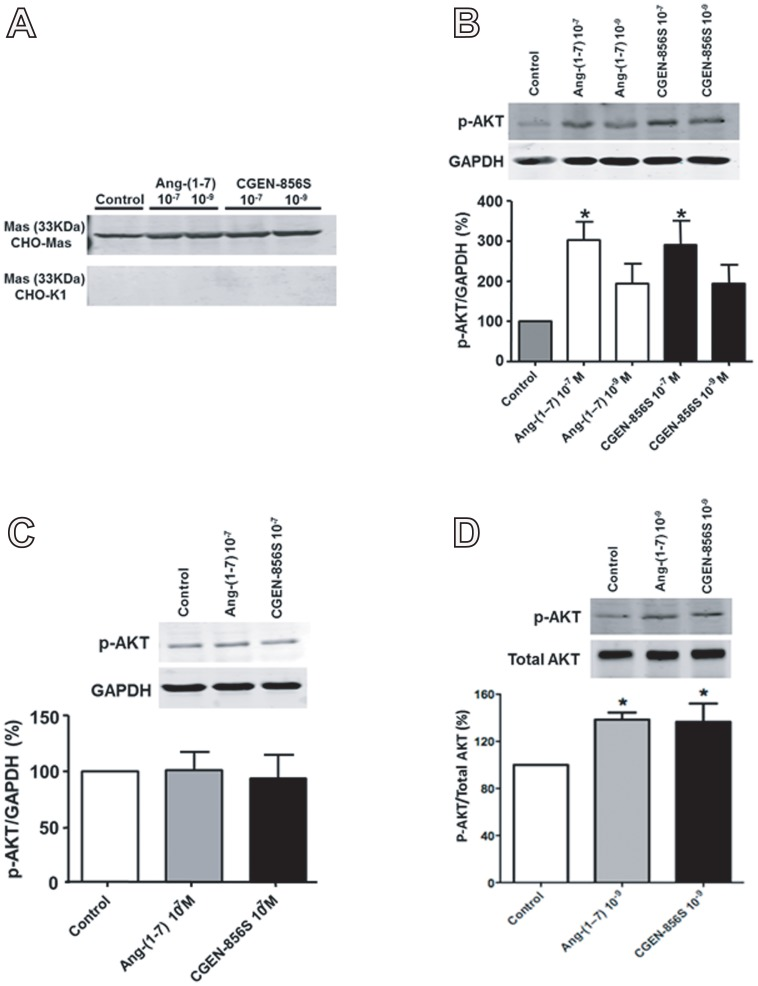 Effects of CGEN-856S and Ang-(1–7) administration on AKT phosphorylation and on the quantity of p-AKT. (A) Representative immunoblots demonstrating the presence of Mas in Mas-transfected CHO cells (CHO-Mas) and the absence of Mas in untransfected cells (CHO-K1). (B) Effects of CGEN-856S and Ang-(1–7) administration (10 −9 and 10 −7 mol/L) for 10 min on p-AKT levels in CHO-Mas cells. (C) The absence of effects of CGEN-856S and Ang-(1–7) administration (10 −7 mol/L) for 10 min on p-AKT levels in CHO-K1 cells. (D) Effects of CGEN-856S and Ang-(1–7) administration (10 −9 mol/L) for 5 min on AKT phosphorylation in CHO-Mas cells. Ang-(1–7) (10 −9 and 10 −7 mol/L) was used as a positive control and glyceraldehyde 3-phosphate dehydrogenase (GAPDH) and total AKT were used as loading controls. * P