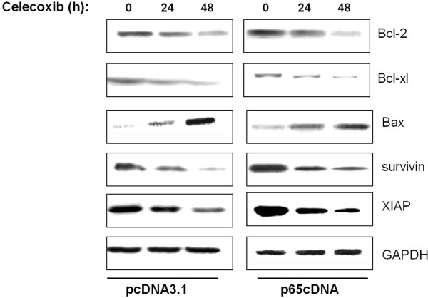 Effect of p65 overexpression on anti-apoptotic NF-κB target genes including Bcl-2 family and IAP family proteins.