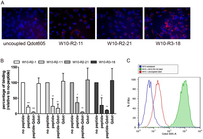 Labeling of embryonic progenitor cell line using peptide targeted Qdot605. (A) Cell targeting by fluorescent Qdots. Qdot605-ITK-SA were complexed with an excess of chemically synthesized C-terminal biotinylated peptide; unbound peptide was removed by dialysis. W10 progenitor cells were incubated for 16 h at 37°C with 5 nM of Qdot complexes, washed and imaged using a fluorescence microscope. (B) Competition with free peptide or peptide-targeted Qdots. Cells were pre-incubated with 5nM peptide, peptide targeted Qdots, or untargeted Qdots, for 30 min at 4°C, followed by addition of peptide phage (2×10 10 pfu) for an additional 1 h at 4°C. After washing, the recovered phage was quantified by titration. The competition is shown as percentage of no-peptide control. Values are from triplicate experiments and shown as mean ± standard deviation. Competition by corresponding free peptide or peptide-Qdot complex at 5 nM was statistically significant. Competition by uncoupled Qdots was not statistically significant (ANOVA with Dunnett's multiple comparison tests; p values: *: