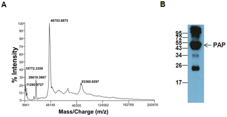 Identification of proteins in fraction III. A. MALDI-TOF mass spectra of fraction III from preparative RP-HPLC showing a major peak of molecular mass 46753 Da. The peak at 10772 Da is probably of PSP94. B. <t>Immunoblot</t> analysis of fraction III probed with <t>anti-PAP</t> antibody. Molecular weight markers shown are in kDa.