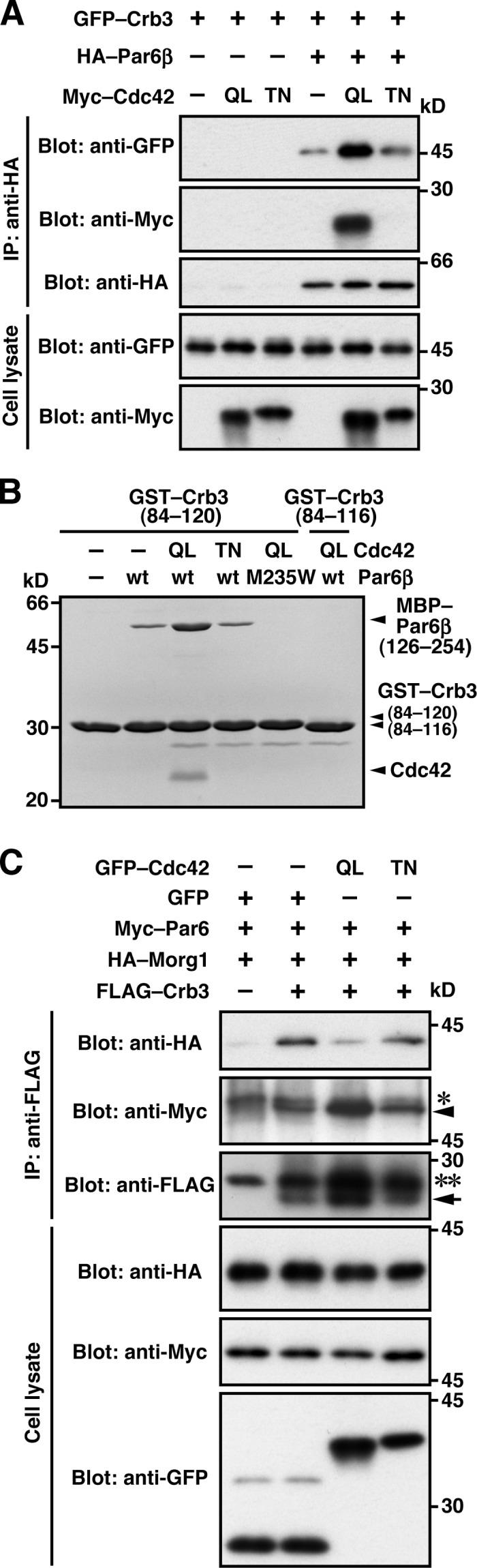 Cdc42 facilitates Par6 binding to Crb3. (A and C) Proteins in the lysate of COS-7 cells expressing indicated proteins (Cell lysate) were immunoprecipitated (IP) and then analyzed by immunoblot (Blot) with the indicated antibodies. In C, the arrow and arrowhead indicate the positions of FLAG–Crb3 and Myc–Par6, respectively; Single and double asterisks denote the heavy and light chains of IgG, respectively. (B) GST–Crb3-(84–120 or 84–116) was incubated with MBP–Par6β-(126–254) in the presence of Cdc42 (Q61L or T17N), and pulled down with glutathione-Sepharose 4B beads, followed by SDS-PAGE analysis with CBB staining.