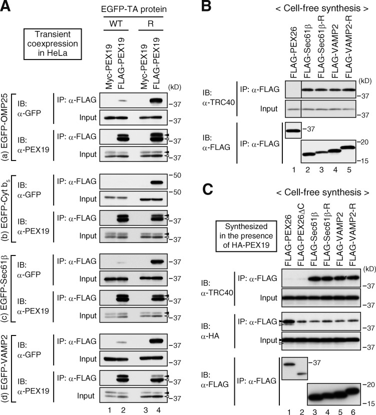 Capture by TRC40 hinders the potential of PEX19 to interact with Sec61β-R and VAMP2-R. (A) HeLa cells each transiently expressing EGFP-OMP25 (a), EGFP–Cyt b 5 (b), EGFP-Sec61β (c), and EGFP-VAPM2 (d) proteins (WT, lanes 1 and 2; R, lanes 3 and 4) in combination with Myc-PEX19 or FLAG-PEX19 were lysed and subjected to immunoprecipitation with anti-FLAG agarose beads. Immunoprecipitates and input (10%) were analyzed by SDS-PAGE and immunoblotting with the indicated antibodies. Note that endogenous PEX19 is not visible at this exposure of the blot. (B and C) FLAG-tagged proteins indicated at the top were synthesized in RRL in the absence (B) or presence (C) of RRL-synthesized HA-PEX19 and then immunoprecipitated as in Fig. 5 A . Immunoprecipitates and input (10%) were analyzed by immunoblotting using the indicated antibodies. Solid and open arrowheads indicate unmodified and farnesylated HA-PEX19, respectively. Black line indicates that intervening lanes have been spliced out. IB, immunoblot; IP, immunoprecipitation.