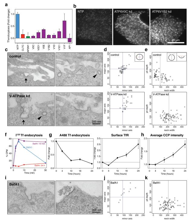 siRNA-mediated depletion of V-ATPase or prolonged inhibition with <t>Bafilomycin</t> A1 leads to accumulation of large, non-constricted CCSs at the PM (a) Efficiency of transferrin internalization after siRNA-mediated depletion of V-ATPase subunits. The cells were incubated with Alexa 488 -transferrin for 7 min, fixed, and surface transferrin receptor was stained using a secondary Alexa 647 antibody. Alexa 488 /Alexa 647 ratios from three independent experiments normalised to the NTP control are plotted. (b) CALM immunofluorescence in ATP6V0C or ATP6V1B2 knockdown cells. (c, d) EM analysis of control and V-ATPase knockdown cells (combined ATP6V0C and ATP6V1B2 SMARTpools). (c) Representative micrographs of CCSs at the PM. Arrows indicate examples of CCPs connected to the PM within the section, wedges indicate structures within 250 nm of the PM, likely to be PM-connected in a different section 30 (d) Size distribution of sectioned CCSs within 250 nm from the PM (marked with wedges in (c)). The lengths of the major and minor axis were measured. Blue lines indicate means of CCSs in control cells. (e) Size distribution of CCPs connected to the PM within the section (marked with arrows in (c)). The pit depth and neck width were measured. Grey lines indicate mean neck width.(f) Kinetics of transferrin internalization in 24 h or 10 min BafA1-treated cells. Fraction of internalized 125 I-transferrin is plotted for each time point. n = 3 independent experiments. (g) Efficiency of transferrin internalization and cell surface accumulation of transferrin receptor after pre-treatment with BafA1 for 4, 10, 16, and 24 h. The assay was performed as described in (a). n = 3 independent experiments. (h) Fold changes in the total spot intensity of CALM-labelled CCPs in a time course experiment with BafA1. ). n = 3 independent experiments. (i) EM analysis of the CCSs in cells treated with BafA1 for 24 h. (j) Size distribution of sectioned CCSs within 250 nm from the PM in BafA1-treated c