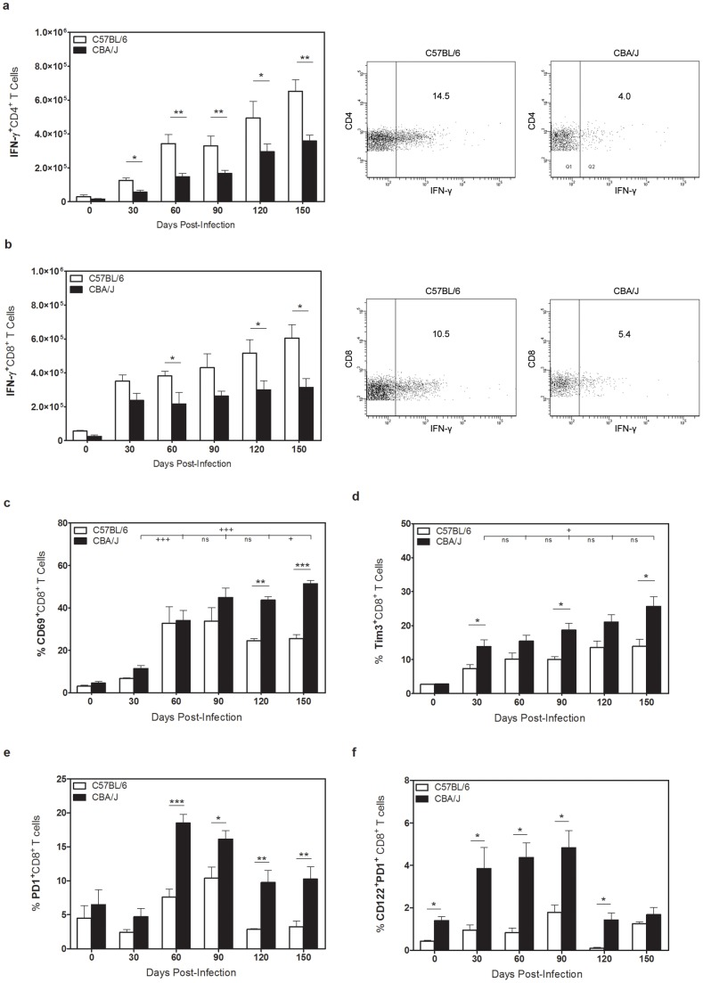 Surface phenotype of pulmonary T cells in CBA/J and C57BL/6 mice. C57BL/6 and CBA/J mice were infected with an aerosolized dose of Mtb and at various timepoints post-infection lungs were removed and processed for flow cytometry. Absolute numbers of IFN-γ + <t>CD4</t> + ( a ) or CD8 + ( b ) T cells after 4 hr ex vivo stimulation with anti-CD3/CD28/GolgiSTOP, with representative flow plots at day 150 post-infection. Absolute numbers of CD8 + T cells expressing CD69 ( c ), Tim3 ( d ), or PD-1 ( e ) after Mtb infection. ( f ) Absolute number of CD8 + T cells expressing both PD-1 and CD122. Data representative of at least two independent experiments with 4 mice per group per timepoint. * p