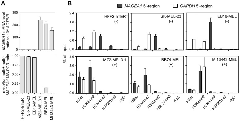 Histone changes associated with the activation of gene MAGEA1 in melanoma cell lines. A , MAGEA1 mRNA expression levels (upper panel) and 5′-region DNA methylation levels (lower panel) were evaluated in three non-expressing cell lines (HFF2-hTERT, SK-MEL-23 and EB16-MEL) as well as in three expressing cell lines (MZ2-MEL3.1, BB74-MEL and Mi13443-MEL). Values represent the mean (± sem) of two independent qRT-PCR or qMS-PCR experiments, each in duplicate. B , ChIP-quantitative PCR was applied to the same cell lines to evaluate enrichment of the indicated histone modifications within either the MAGEA1 5′-region or the GAPDH promoter (representing a ubiquitously active promoter). Data derive from at least two independent ChIP experiments, with two duplicate qPCR measures in each case.
