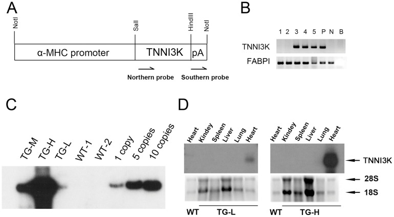 Generation of cardiac-specific TNNI3K transgenic mice. (A), Schematic of the TNNI3K transgene that was constructed with the α-MHC mouse promoter. pA: human growth hormone polyA sequences The positions of the Southern probe and northern probe were shown below the construct; (B), PCR genotyping of TNNI3K transgenic mice. 1–5: transgenic mice. P: positive control, wild-type mouse genomic DNA mixed with linearized transgenic fragment. N: negative control, wild-type mouse genomic DNA. B: blank, none DNA template. FABPI gene was amplified as internal control. (C), Southern blot analysis of wild-type and TNNI3K transgenic mice. Tail genomic DNA was digested with EcoRI and probed with hGH polyA sequence. Hybridization signals were present only in transgenic positive mice. Transgenic copy number was determined from the gray density against standard curve. 1 copy -10 copies: transgenic copy standards. (D). Northern blot analysis of RNA isolated from multiple tissues of the transgenic TG-L and TG-H lines. Hybridization signals were present only in the heart of transgenic mice. The RNA isolated from the heart of wild-type mouse was used as a negative control.