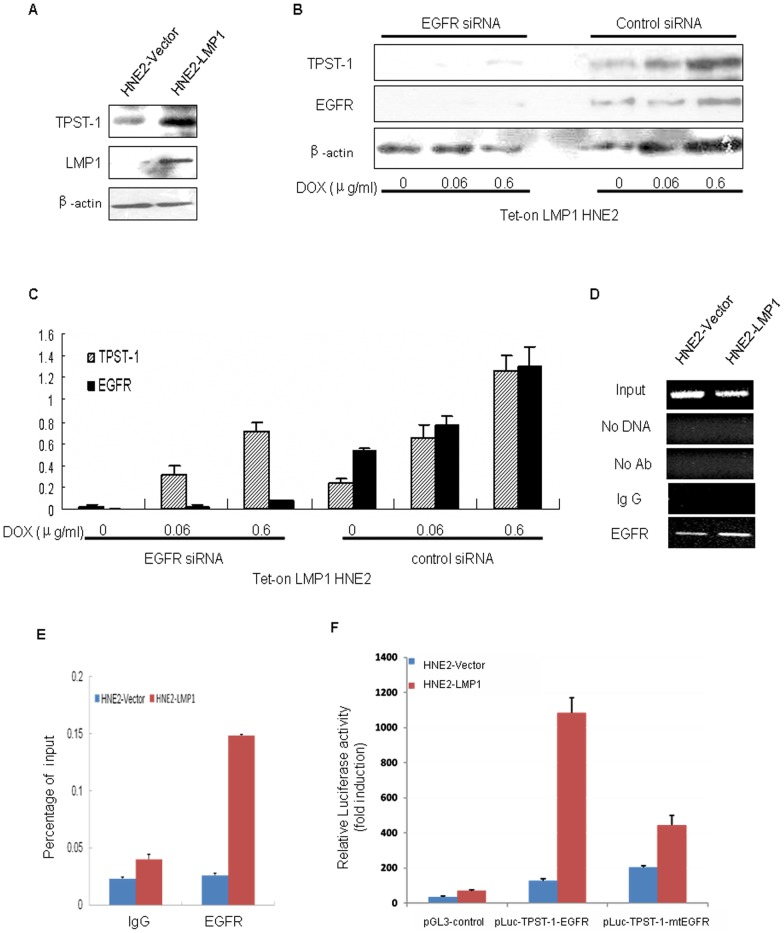 "LMP1 induces the expression of TPST-1 by activating EGFR. (A) LMP1 and TPST-1 expression was assessed in HNE2-PSG5 and HNE2-LMP1 whole cell lysates by Western blot. β-Actin was used as a control to verify equal protein loading. (B) EGFRsiRNA decreases expression of TPST-1 in Tet-on-LMP1 HNE2 cells. Tet-on-LMP1 HNE2 cells were stimulated with the indicated doses of Dox for 24 h followed by incubation with 50 pM EGFRsiRNA for an additional 24 h. EGFR and TPST-1 expression was measured in whole cell lysates by Western blot. β-Actin was used as a control to verify equal protein loading. (C) Expression level of each protein was estimated by densitometry and presented as a ratio to the loading control β-actin. The data are shown as means ± S.D. of three independent experiments performed in triplicate. (D) S-CXCR4 expression was assessed in 6–10B and 5–8F cells by (D) ChIP-PCR analysis of EGFR binding site on the promoter of TPST-1 in HNE2-PSG5 and HNE2-LMP1 cells. The cross-linked chromatin that was precipitated with specific antibodies as indicated. The input fraction represents the positive control. Negative controls include a sample with no chromatin, a sample with no antibody, and a sample with a nonspecific antibody (IgG). The precipitated DNA was analyzed by PCR using primers that amplified a 94-bp region, which included the EGFR site in HNE2-PSG5 and HNE2-LMP1 cells. (E) LMP1 promotes the binding of the EGFR and the TPST-1 promoter. ChIP-Q-PCR analysis shows that LMP1 promotes EGFR binding to the TPST-1 promoter. Anti-EGFR was used to identify the EGFR binding sites on the TPST-1 promoter in HNE2-PSG5 and HNE2-LMP1cells. The binding activity of each protein is given as percentage of total input. (F) LMP1 augments TPST-1 promoter activity through the EGFR. The constructs carry either wild-type sequences or mutations (depicted by crosses) in the EGFR sites are shown. Transient transfection and luciferase reporter assays were performed as described in "" Materials and methods "" to compare the transcriptional activation of the TPST-1 promoter in nasopharyngeal carcinoma cells. The relative luciferase activity is normalized to the value of Renilla luciferase activity. Results are expressed as fold induction of the activity of vector-transfected HNE2-PSG5 cells, which was assigned a value of 1. The data are shown as means ± S.D. of the 3 independent experiments performed in triplicate."