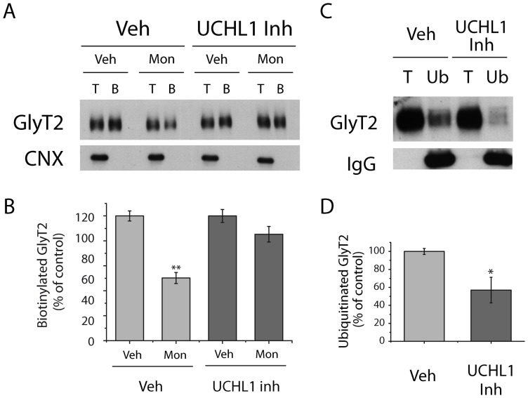 UCHL1 inhibition impairs Glyt2 constitutive endocytosis in neurons. A) Representative immunoblot of brainstem and spinal cord primary neurons. Cells were pretreated for 2 h with vehicle (DMSO) or LDN -57444 (UCHL1 inhibitor: 10 μM) and were then exposed to monensin (35 μM, 30 min) or the vehicle alone (EtOH), in the presence or absence of UCHL1. Cell surface proteins were labeled with sulfo-NHS-SS-biotin and the biotinylated proteins were pulled down with streptavidin-agarose beads. GlyT2 expression was analyzed in Western blots using calnexin immunodetection as a control of intracellular non-biotinylated protein. B, biotinylated protein (30 μg); T, total protein (10 μg). B) Densitometric analysis of four independent Western blots as in (A) relative to the control values (Veh). Data represent the means ± SEM. **, significant difference with respect to control; p