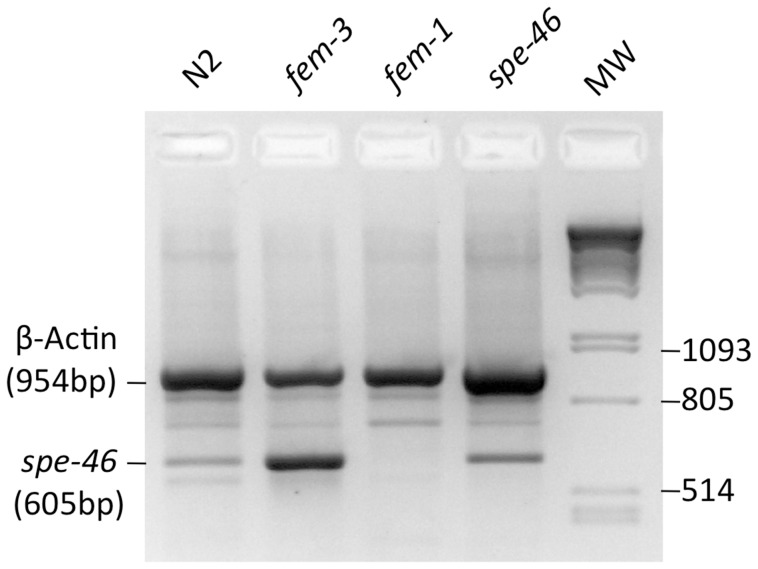 Products of RT-PCR reactions using RNA from wild-type (N2) worms, hermaphrodites that produce only sperm [ fem-3(q23) ], hermaphrodties that produce only oocytes [ fem-1(hc17) ], and spe-46(hc197) mutant hermaphrodites. The reactions were multiplexed with primers for both the spe-46 transcript and the transcript for the C. elegans β-Actin homolog act-2 . The molecular weight marker (MW) is lambda phage cut with PstI. While non-specific products were amplified, the specific amplicons for both spe-46 and act-2 were present. In particular, the spe-46 product is present in all lanes but fem-1 , a strain that makes no sperm. The size of each specific amplicon is indicated.
