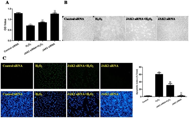 The effects of JAK2 siRNA on the viability, morphology and apoptotic rate of H 2 O 2 -injured HUVECs (treated for 4 h). (A) The viability of the HUVECs was assessed by performing an MTT assay, and the viability was expressed as an OD value. (B) The cell morphology was observed using inverted/phase-contrast microscopy, and images were obtained. Significant cell shrinkage and a decrease in the cellular attachment rate was observed in the H 2 O 2 group, whereas the pretreatment with JAK2 siRNA reduced H 2 O 2 -induced cell shrinkage and decreased the cellular attachment rate. (C) The apoptosis of the HUVECs was assessed by a TUNEL assay and was expressed as the apoptotic index. TUNEL staining was performed to stain the nuclei of the apoptotic cells (green), and DAPI was used to stain all of the nuclei (blue). The apoptotic index was expressed as the number of positively stained apoptotic cells/the total number of cells counted ×100%. The results are expressed as the mean ± SEM, n = 6, **P