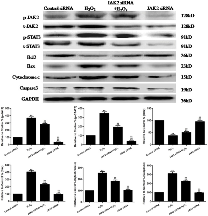 The effects of JAK2 siRNA on the levels of p-JAK2 and p-STAT3 and the expression of Bcl2, Caspase3, Bax and Cytochrome c in H 2 O 2 -injured HUVECs (treated for 4 h). Representative images of the Western blots are shown. The results are expressed as the mean ± SEM, n = 6, **P