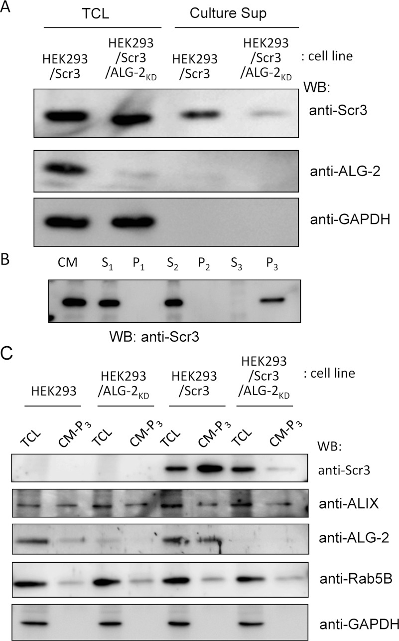 Secretion of Scr3 into culture medium ( A ) HEK-293/Scr3 cells and Scr3-expressing ALG-2 knockdown HEK-293 cells (HEK-293/Scr3/ALG-2 KD ) were cultured for 2 days, and each CM was centrifuged at 10000 g for 15 min. The obtained culture supernatant (Culture Sup) and TCL were subjected to WB using anti-Scr3 mAb (top panel), anti-ALG-2 pAb (middle panel) and anti-GAPDH mAb (bottom panel). ( B ) CM of HEK-293/Scr3 cells was fractionated by sequential centrifugations at different gravities, and the supernatants and pellets were analysed for Scr3 by WB. S 1 , supernatant of 1000 g , 10 min; P 1 , pellets of 1000 g , 10 min; S 2 , supernatant of centrifugation of S 1 at 10000 g , 15 min; P 2 , pellets of centrifugation of S 1 at 10000 g , 15 min; S 3 , supernatant of centrifugation of S 2 at 100000 g , 60 min; P 3 , pellets of centrifugation of S 2 at 100000 g , 60 min. ( C ) TCL and pellets of centrifugation of S 2 at 100000 g for 60 min of each CM-P 3 from HEK-293, HEK-293/ALG-2 KD , HEK-293/Scr3 and HEK-293/Scr3/ALG-2 KD cells were analysed for Scr3, Alix, ALG-2, Rab5B and GAPDH by WB using specific antibodies. Representative data obtained from three ( A ) and two ( B , C ) independent experiments are shown.
