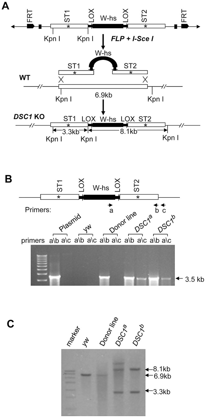 Method for targeted gene knockout and confirmation by PCR and Southern blot analysis. ( A ) Schematic presentation of the donor construct, homologous recombination and replacement of the endogenous DSC1 sequence with the donor sequences carrying stop codons ( * ). A 6.6-kb DSC1 genomic DNA region was amplified in two 3.3-kb fragments and a stop codon was introduced into the middle of each fragment (i.e., ST1 in the upstream fragment and ST2 in the downstream fragment). The upstream and downstream fragments were then cloned into the pW25 vector (shown at the top in A ). The donor construct was transformed into w 1118 flies to generate donor construct lines. The donor construct lines were crossed with another transgenic line that contains heat-inducible 70FLP recombinase and 70I-Sce I endonuclease genes to induce DSC1 -targeted homologous recombination. ( B ) Confirmation of DSC1 knockout by genomic PCR. Amplification of a 3.6 kb DSC1 genomic fragment using the primer pairs a/c from DSC1 knockout flies, but not from donor flies. ( C ) Southern blot analysis. Genomic DNA from WT (lane 2), a donor construct line (lane 3), and two independent homozygous DSC1 knockout lines (lanes 4 and 5) was digested with the restriction enzyme KpnI and hybridized with two genomic DNA probes made from the two 3.3-kb DSC1 fragments (in A ). As expected, the wild-type 6.9-kb band was converted into two bands of 3.3 kb and 8.1 kb in the DSC1 knockout lines due to homologous recombination.