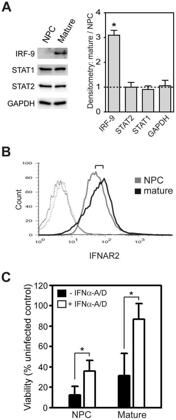 Differentiation of hESC-derived neurons enhances type I IFN pathway component expression and function. (A) Lysates from hESC-derived NPCs and mature neurons were immunoblotted for basal IRF-9, STAT1, and STAT2 expression. GAPDH was analyzed as loading control. Representative blots from one of three independent experiments are shown, and quantitative immunoblot results shown on the graph represent mean ± SEM densitometry ratios of mature versus immature cells. * p