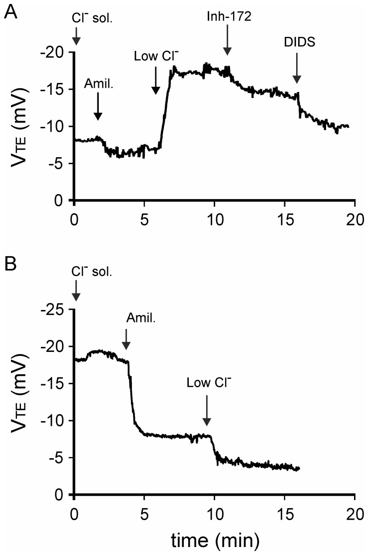 Representative V TE recordings. The recordings obtained with the final protocol are shown for WT (A) and cftr -/- B6;129 mice (B). Three phases was observed: baseline V TE after Cl - solution perfusion, V TEAmil. after the addition of amiloride (Amil.) and V TELowCl - after the replacement of Cl - solution with a solution of low Cl - concentration (LowCl - ). The inhibitory effect on Cl - secretion of inhibitor-172 and inhibitor-172 plus DIDS was demonstrated in WT mice.
