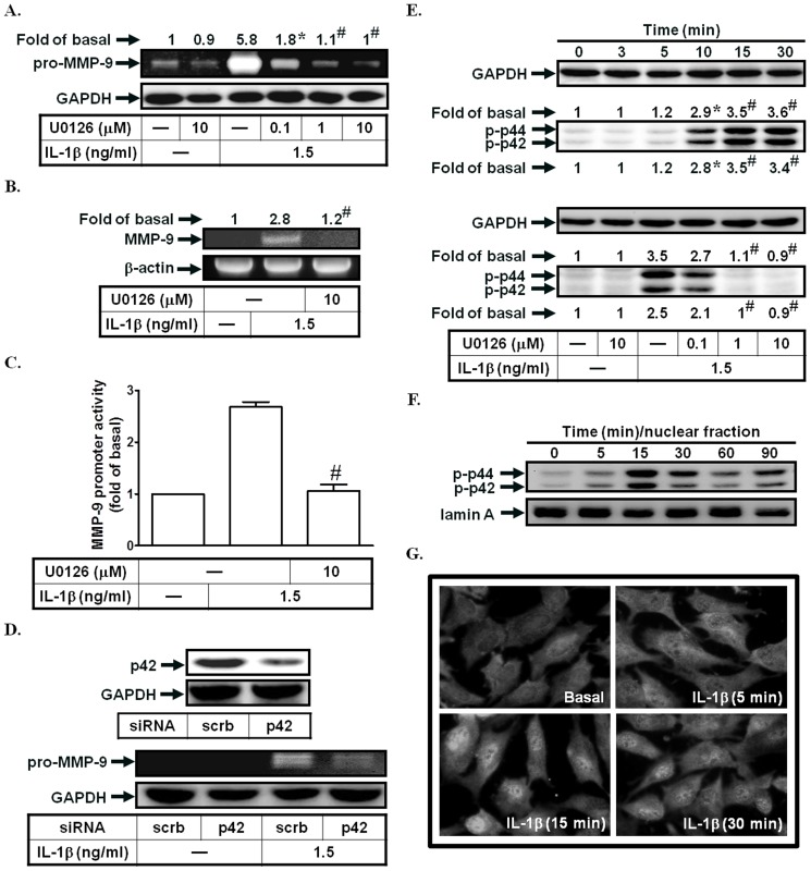 IL-1β induces MMP-9 expression via p42/p44 MAPK. (A) Cells were pretreated with U0126 for 1 h, and then incubated with IL-1β for 12 h. The conditioned media were subjected to determine MMP-9 expression. (B, C) Cells were pretreated with U0126, and then incubated with IL-1β for 4 h (mRNA levels) or 12 h (promoter activity). The mRNA levels and promoter activity of MMP-9 were determined. (D) Cells were transfected with siRNA of scrambled or p42, and then incubated with IL-1β for 12 h. The conditioned media were subjected to determine MMP-9 expression. The protein levels of p42 were determined by Western blotting. (E) Cells were treated with IL-1β for the indicated time intervals or pretreated with U0126, and then treated with IL-1β for 30 min. The phospho-p42/p44 MAPK protein expression was determined by Western blotting. (F, G) Cells were treated with IL-1β for the indicated time intervals. The nuclear fractions were prepared and subjected to Western blotting using an anti-phospho-p42/p44 MAPK antibody. Lamin A was used as a marker protein for nuclear fractions. The translocation of p42/p44 MAPK was observed using a fluorescence microscope. Data are expressed as mean±S.E.M. of three independent experiments. * P