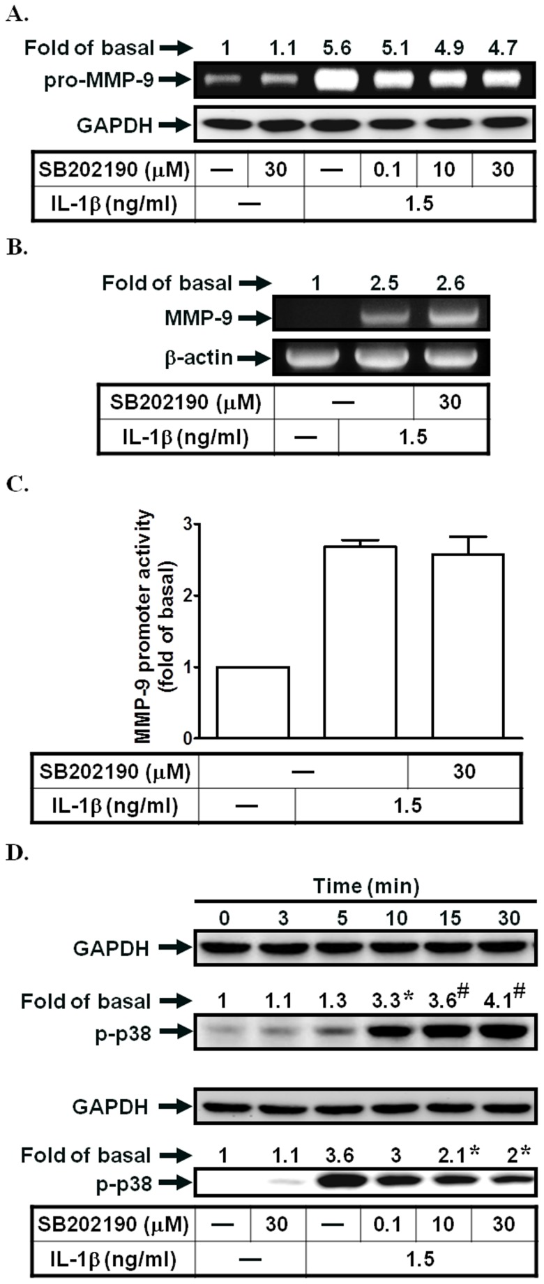 p38 MAPK activation is not involved in IL-1β-induced MMP-9 expression. (A) Cells were pretreated with SB202190 for 1 h, and then incubated with IL-1β for 12 h. The conditioned media were subjected to determine MMP-9 expression. (B, C) Cells were pretreated with SB202190, and then incubated with IL-1β for 4 h (mRNA levels) or 12 h (promoter activity). The mRNA levels and promoter activity of MMP-9 were determined. (D) Cells were treated with IL-1β for the indicated time intervals or pretreated with SB202190, and then treated with IL-1β for 30 min. The phospho-p38 MAPK protein expression was determined by Western blotting. Data are expressed as mean±S.E.M. of three independent experiments. * P